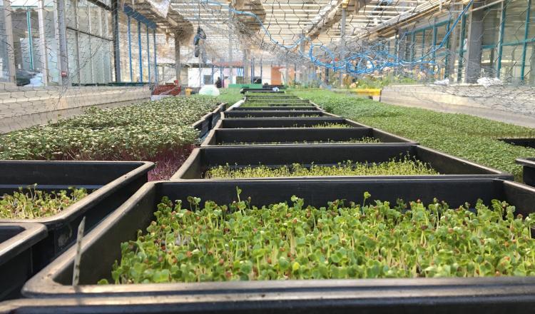 Vendus aux restaurateurs nantais, les micro-pousses constituent une production rentable pour la ferme urbaine de l'Agronaute.