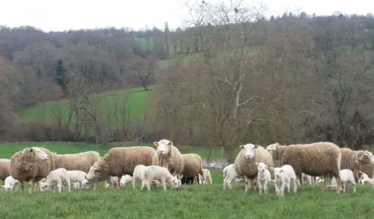 Un sevrage après 100 jours reste conseillé après une lactation à l'herbe. (photo CIIRPO)