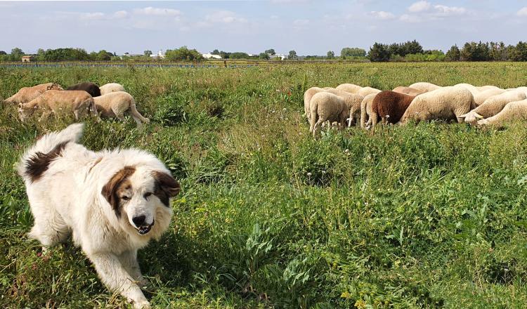 L'intervention du chien de protection est dissuasive et efficace contre la prédation et le vol. (photo AdobeStock)