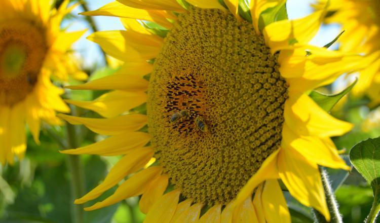 En réduisant le stress hydrique du tournesol à la floraison, l'irrigation favorise la sécrétion de nectar, source d'alimentation essentielle pour les abeilles.