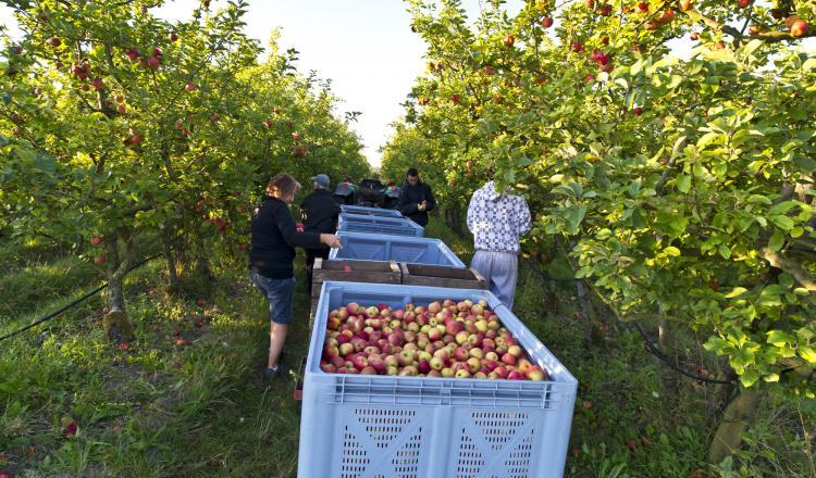 Les Côteaux Nantais espèrent récolter cette année 1 250 tonnes de pommes et 250 t de poires, leurs deux produits phares.
