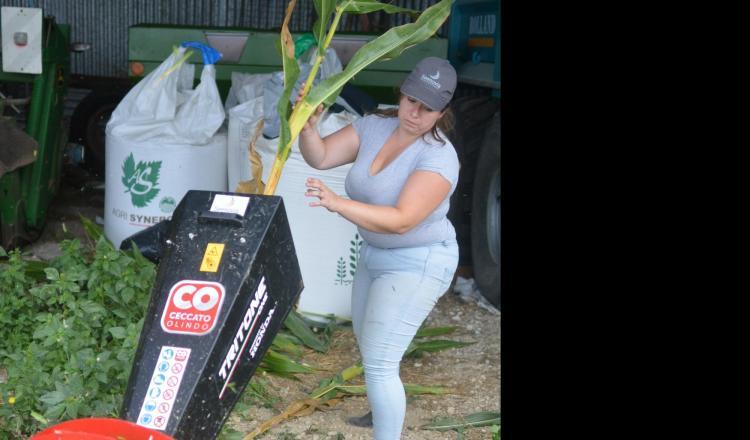 """Broyage d'échantillon de maïs lors d'une récente """"Journée matière sèche maïs"""" organisée par Seenovia à Auverse Maine-et-Loire). Cette dernière semaine, le maïs gagnait plus d'un point de matière sèche tous les trois jours."""