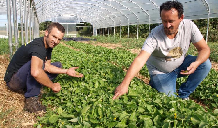 Fabien et Anthony bichonnent leurs brèdes mafane, dont les petites fleurs jaunes sont un élement essentiel du Mafana, leur spiritueux qui part à la conquête des acheteurs professionnels.
