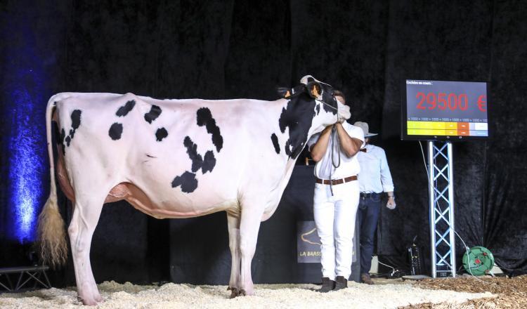 Roxa, une primipare du Gaec Toullec, fille de Chief (le taureau du moment concernant les animaux de show), a été vendue 29 500 ¬.