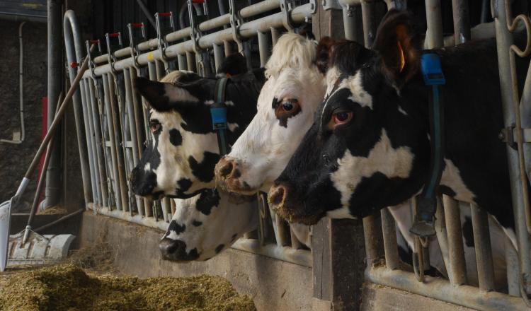 En conversion non simultanée, il est possible de nourrir les vaches avec de l'aliment non bio la première année. Mais vend