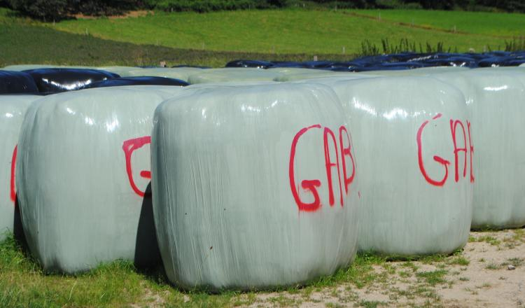 Finir des agneaux avec une ration à base d'enrubannage de luzerne pure associé à une céréale est possible. (photo CIIRPO