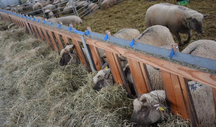 Les cornadis aident pour intervenir sur les animaux, mais créent aussi des contraintes, notamment pour y mener les brebis récalcitrantes.