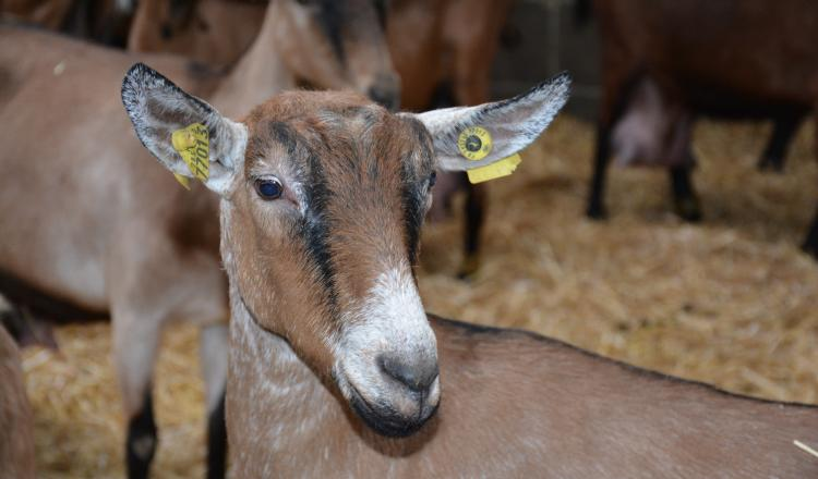 Plus d'un tiers des éleveurs mettent une part significative des chèvres en lactation longue.