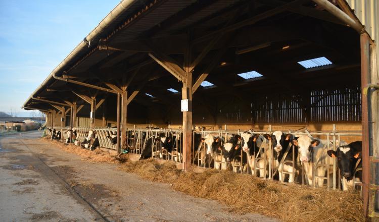 Génisses à la ferme expérimentale des Trinottières. Un plan de buvée simplifié en six repas permet un gain financier de 22 euros par génisse.
