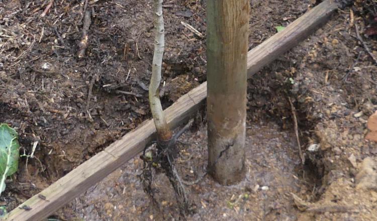 Lors de la plantation d'un arbre à racine nue, bien détasser les racines et placer le collet au niveau du sol.