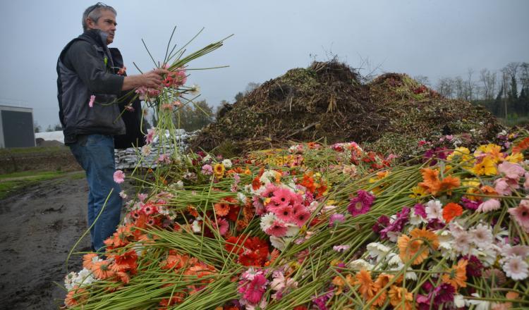 A Sainte-Gemmes-sur-Loire, chez Froger fleurs, principal producteur de fleurs coupées, on jette des milliers de fleurs...