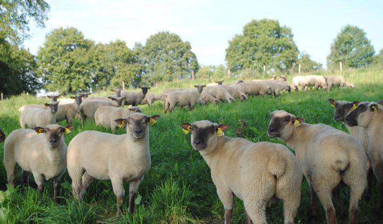 Un gain entre 20 et 60/¬ par agnelle achetée sur sa carrière. (photo CIIRPO)