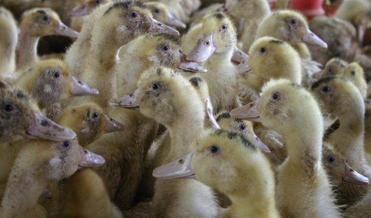 Le canard a subi lourdement le contexte 2020, avec des pertes de débouchés massifs. L'entreprise mayennaise Chevalier a...