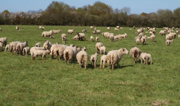 Les éleveurs de Loire-Atlantique sont des victimes récurrentes des vols de moutons mais des caméras de vidéosurveillance judicieusement placées commencent à porter leurs fruits pour résoudre des affaires.