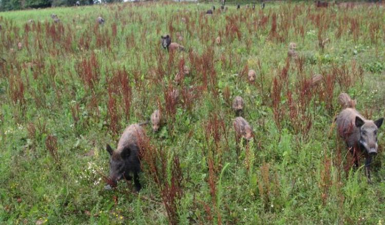 Malgré un nombre de prélèvements en forte hausse ces dernières années, les chasseurs n'arrivent pas à endiguer la progression de l'espèce.