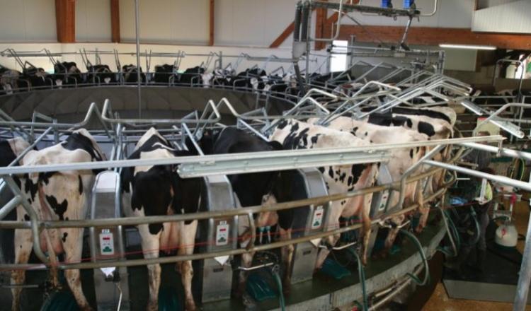 Le roto du Gaec a attiré les curieux. Le GEA 36 postes permet à deux éleveurs de traire 180 vaches en une heure, lavage compris. Une vidéo sur notre site internet.