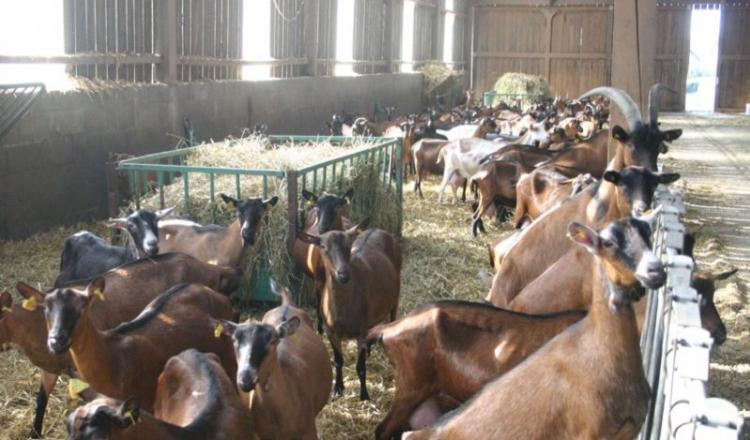 La fabrication de fromages de chèvre a baissé (- 1,3%), la collecte aussi (- 0,7%), mais la filière croit en l'avenir. Son plan: augmenter la part des produits bio et des AOP (appellations d'origine protégée), et valoriser davantage à l'export.