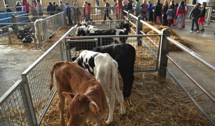 Au foirail de Château-Gontier, les centres de loisirs ont fait connaissance avec le marché aux veaux.