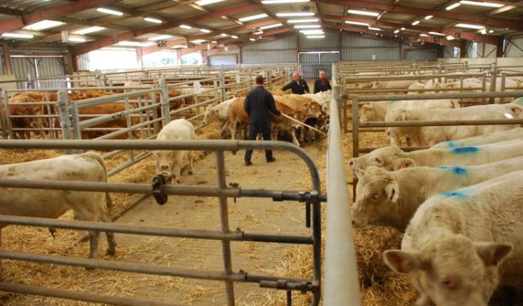 Dans un premier temps, les activités bovines de la Cam vont rejoindre Ter'Elevage (ici le centre d'allotement de la Cam à Evron).