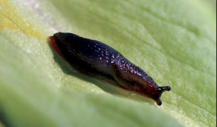 Deux types de limaces peuvent être présents : les limaces grises et les limaces noires (photo Arvalis - Institut du végétal).