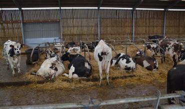 Certains éleveurs utilisent les huiles essentielles pour apaiser les vaches, avec la technique olfactive: quelques gouttes déposées sur une cale de bois, qui se diffusent dans le bâtiment.