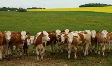 """""""De plus en plus d'éleveurs s'intéressent aujourd'hui à cette race en raison de ses atouts laitiers et du produit viande qu'elle dégage"""", explique Simmental France, l'organisme de sélection."""