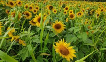 A l'image de MethaniCouv, développé par Caussade, les semenciers proposent différents mélanges destinés aux agriculteurs méthaniseurs. (photo: Caussade Semences.)