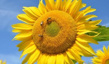 Depuis plus de dix ans, les apiculteurs s'interrogent sur le lien entre la dégradation du potentiel mellifère du tournesol et la sélection variétale.