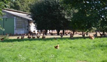 Favoriser l'expression du comportement exploratoire des poulets sur les parcours plein air est un des éléments du projet Ppilow.