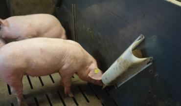 Le porc grignote le morceau de bois, ou le cylindre de paille ou de luzerne compressée, maintenu dans le support en plastique fixé à la paroi. (Crédit chambre d'agriculture de Bretagne)