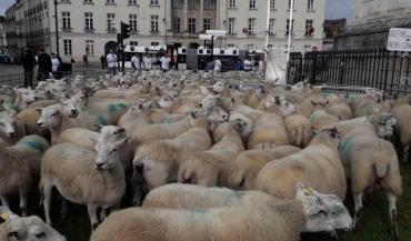 Les 350 moutons ont été regroupés au pied de la statue de Louis XVI.
