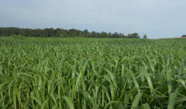 Entre deux à quatre récoltes pour 8 et 13 tMS/ha, c'est ce qu'on peut espérer du sorgho fourrager multicoupe. (photo Semences de Provence)