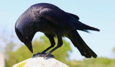 Le Muséum national d'histoire naturelle cherche une alternative au fusil pour réguler les choucas. (photo Crow Life)