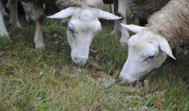 Un apport de concentré nécessaire à l'herbe pour les portées doubles et plus. (photo CIIRPO)