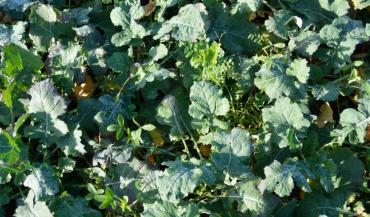 Féverole, sarrasin, lin et fénugrec sont les plantes compagnes de base. Elles seront détruites par le gel l'hiver. Si l'on souhaite obtenir un couvert permanent, on sèmera en supplément du trèfle, de la luzerne ou du lotier.