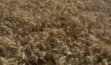 354000 hectares de blé dur ont été cultivés en 2018, soit 4/% de la surface céréalière et 3/% de la production des céréales en France.