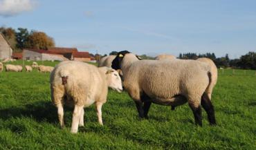 Certains éleveurs réduisent la durée de la lutte à un cycle en automne. (photo CIIRPO)