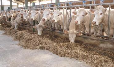 Le troupeau charolais de la ferme expérimentale des Etablières (Vendée) a servi de support à l'étude BeefAlim, comme ceux