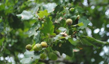 Les brebis en raffolent et à grande dose, mais le tanin qui est libéré est toxique. (photo Ciirpo)