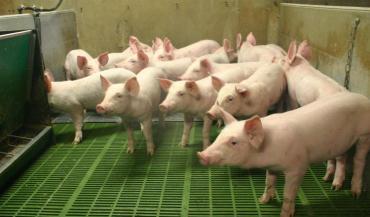 En cas d'incohérence, plusieurs scénarios d'optimisation sont proposés à l'éleveur, par exemple vendre des porcelets au...
