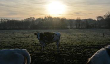 Il est recommandé de ne pas mettre plus de 45 vaches en même temps par hectare. Elles peuvent rester en moyenne 1,1 jour...