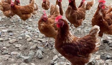 """La France compte 2300 éleveurs de poules pondeuses, dont 85/% de poules """"rousses""""."""