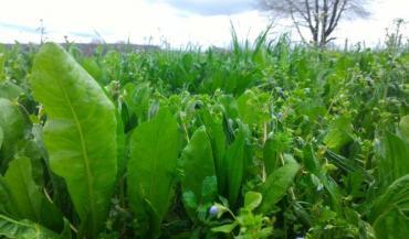 Les vertus antiparasitaires des plantes à tanins pâturées restent à démontrer. (photo CIIRPO)