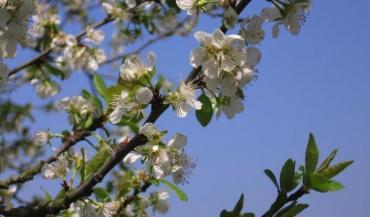 """Joseph Fétiveau: """"Quand les merisiers fleurissent, il faut commencer le pâturage."""""""