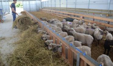 Les agneaux vendéens ont pris place dans le nouveau bâtiment depuis mars. Un gros projet conduit par le responsable de l'exploitation Régis Mézière.
