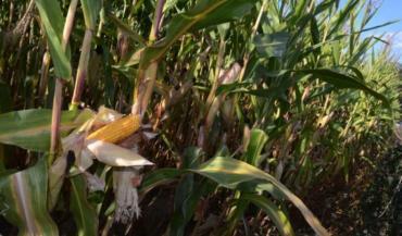 Les poupines du maïs Hulk sont bien remplies malgré une année compliquée. On y compte 16 à 18 rangées de grains (ici à Chailland).
