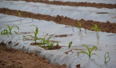 Ce maïs a été semé au 15mars. En grandissant, il perce le film (photo prise le 24avril).
