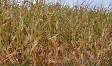 Les fortes chaleurs de la semaine dernière ont fortement accéléré le desséchement des maïs ensilage et renforcé l'hétérogénéité liée au sol.