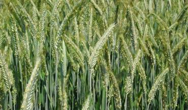 La sélection variétale a dû prendre en compte la productivité, la rusticité puis la qualité technologique des grains. Elle doit maintenant intégrer le réchauffement climatique.