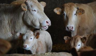 Les arbitrages attendus portaient sur les vaches allaitantes. Ils cadrent aussi des aides aux protéines végétales, des mesures agroenvironnementales et climatiques, (dont une pour les monograstriques), une aide laitière, etc.
